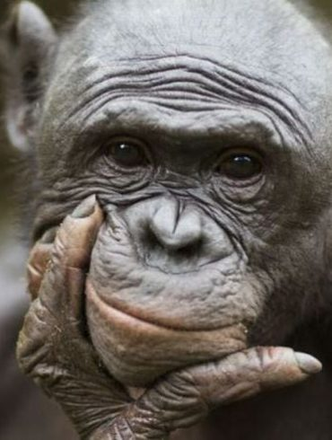 Retrato de Primate