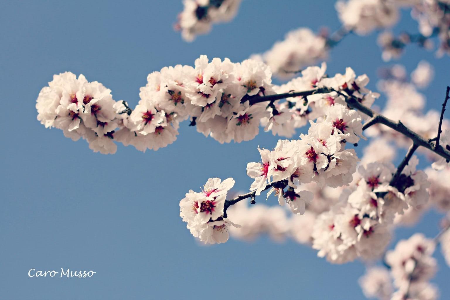 Almendro en flor.
