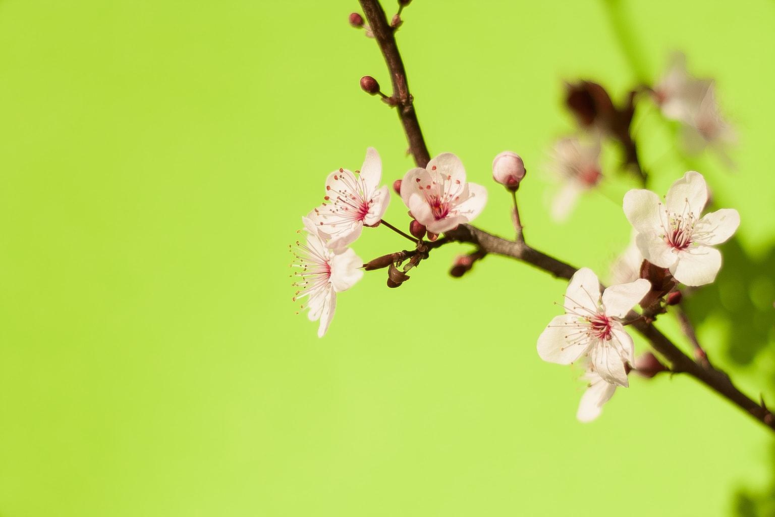 """""""Prunus Pisardi"""" de Mariya Prokopyuk"""
