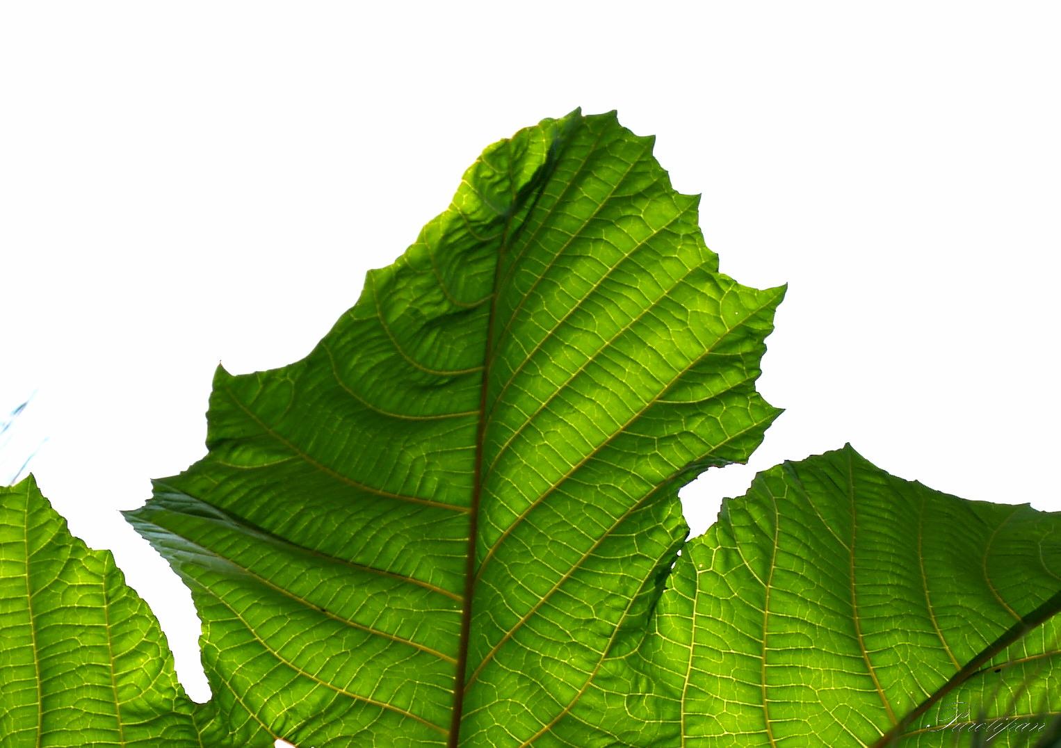 hojas de planta verdes