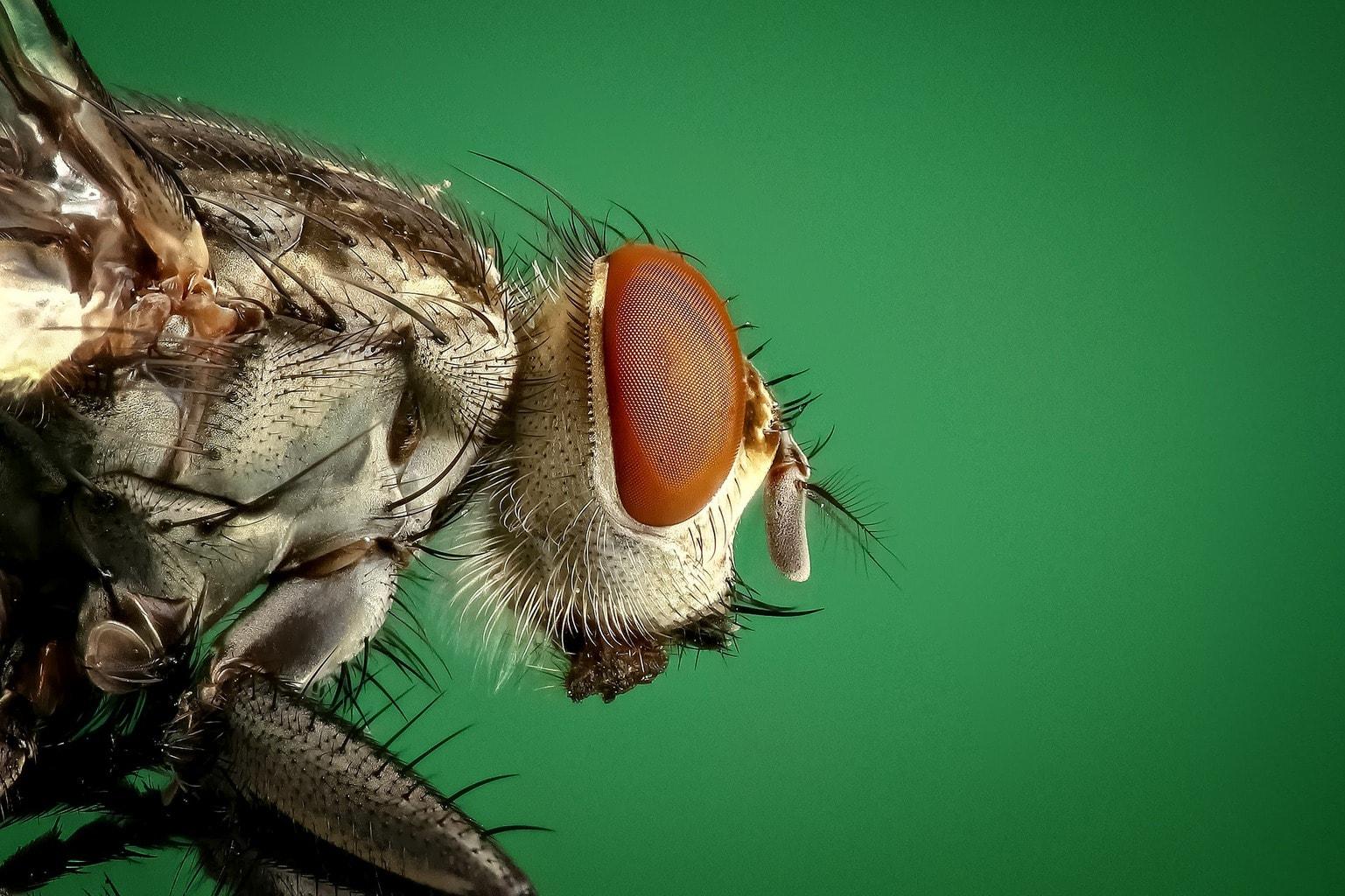 housefly-1127619_1920 (1)