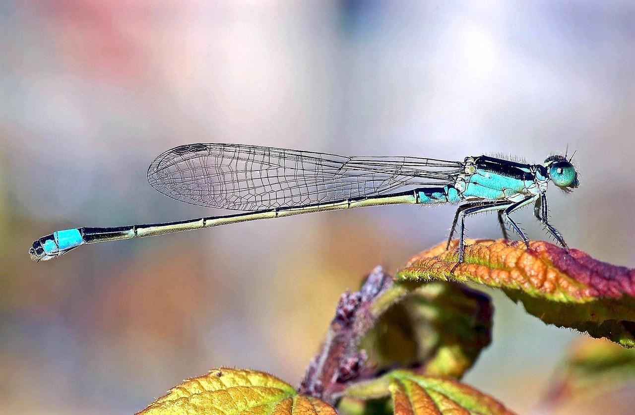 swallowtail-damselfly-960184_1280