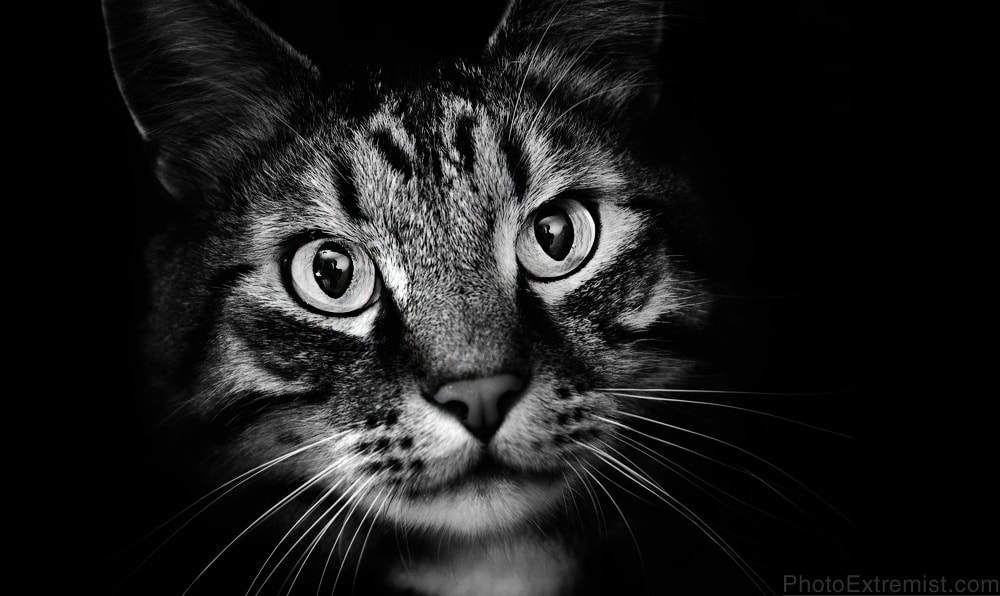 Dramatic black and white lowkey portrait of my maine coon cat, Jazzman. © 2010 Evan Sharboneau and PhotoExtremist.com Blog | YouTube | Flickr | Twitter | Facebook