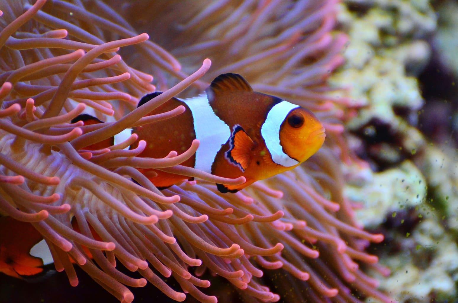 anemone-fish-1496866_1920 (2)
