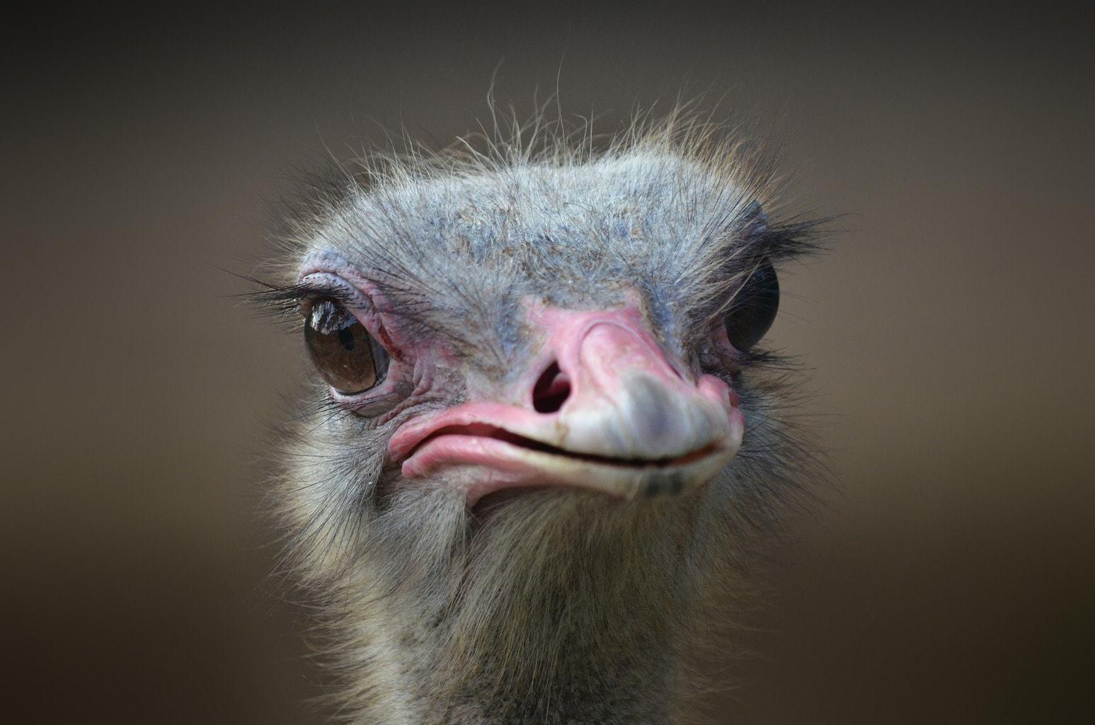 ostrich-1688889_1920