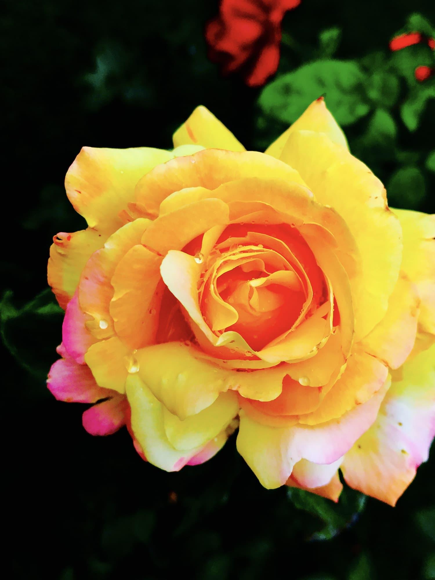 fotografía macro rosa