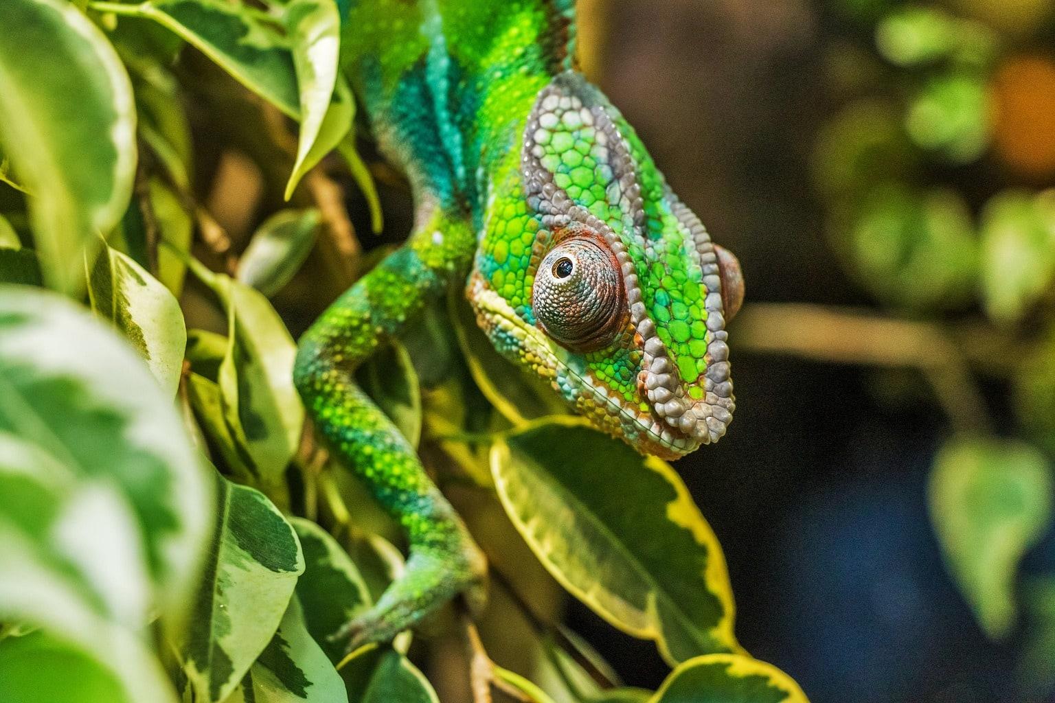 retrato de un camaleón