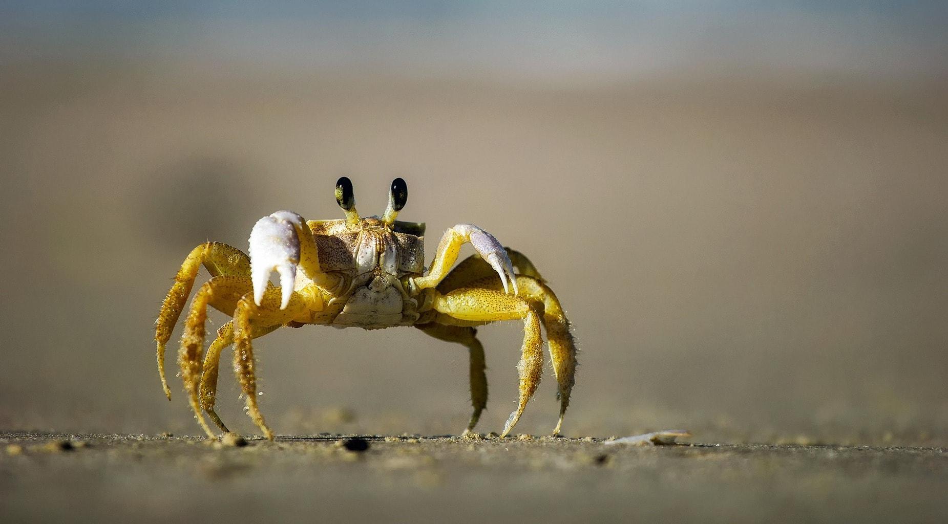 fotografía macro de un cangrejo