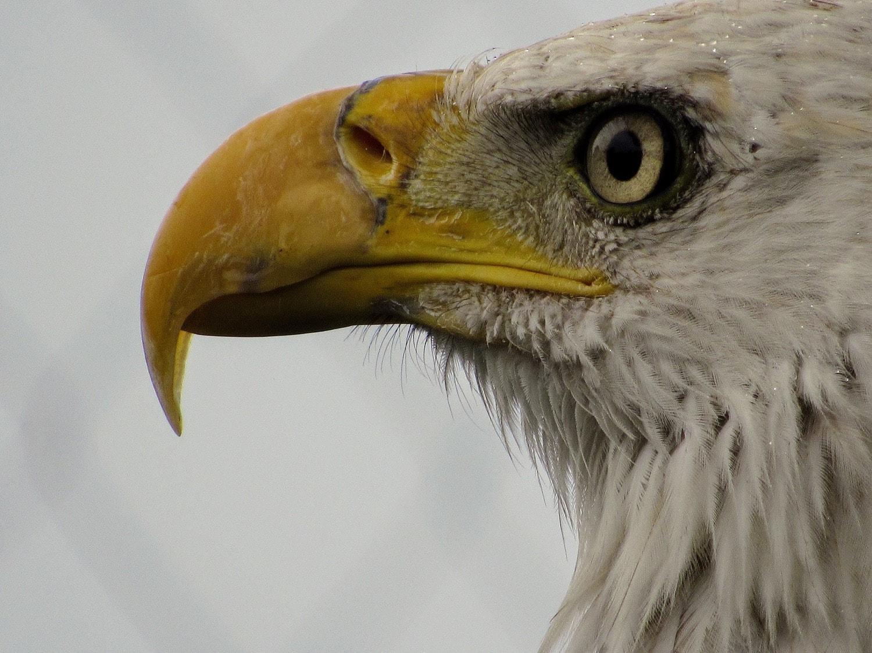 retrato de un águila
