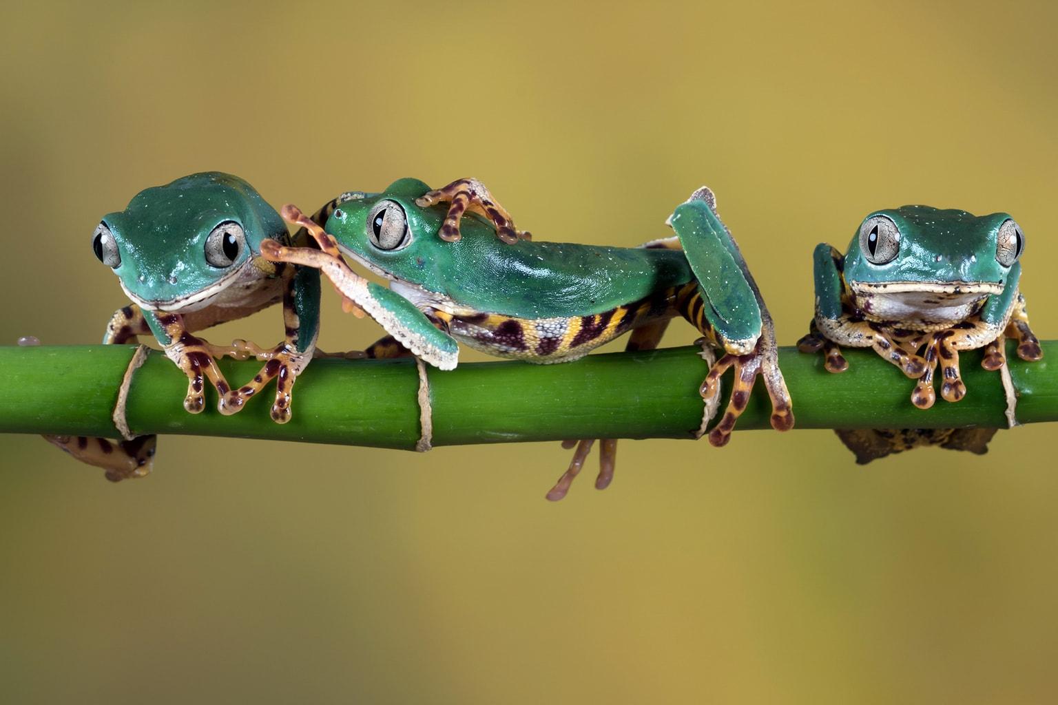 fotografía de tres ranas