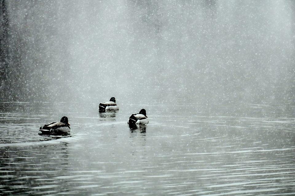 Fotografía de unos patos en el río