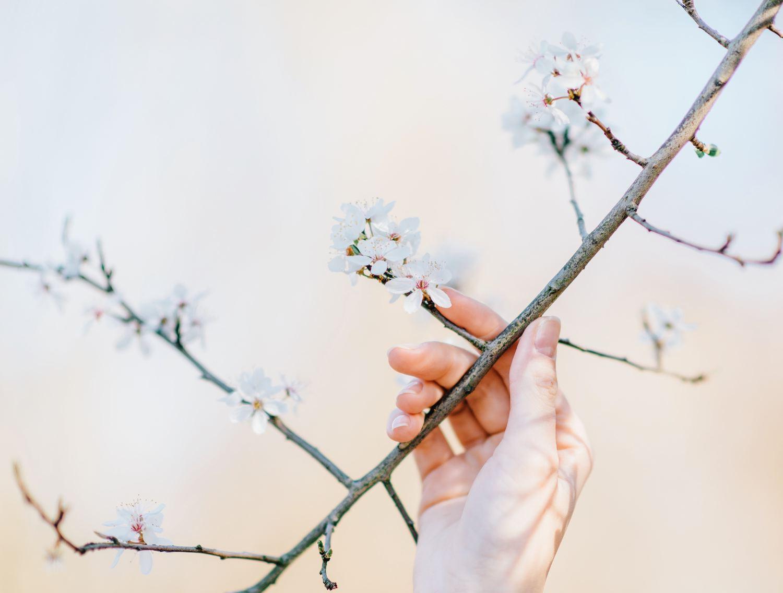 fotografía flores de cerezos