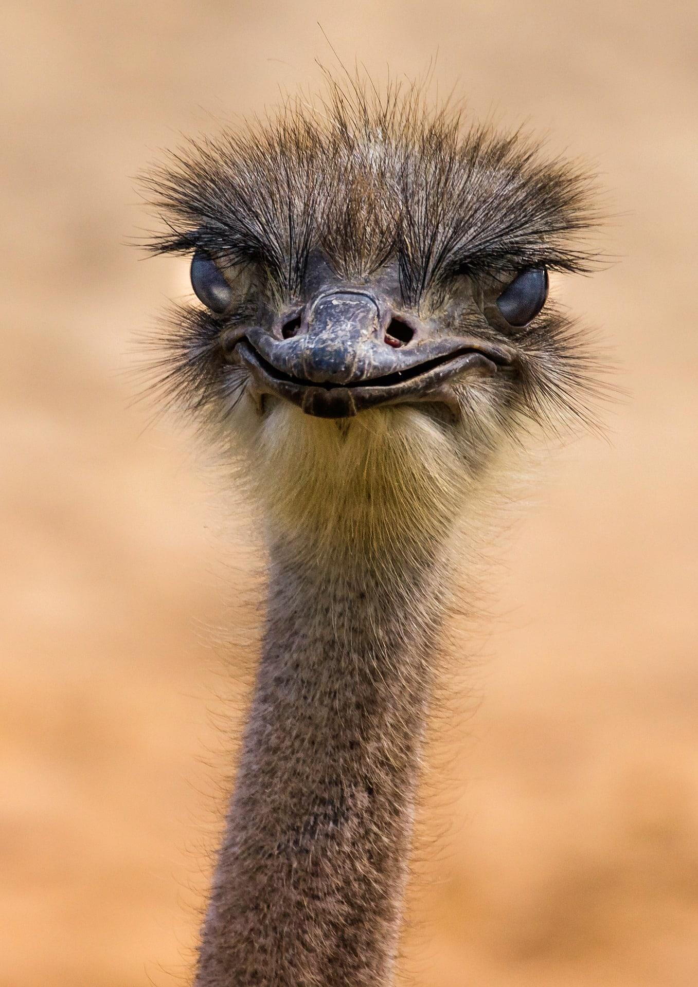 fotografía fauna avestruz