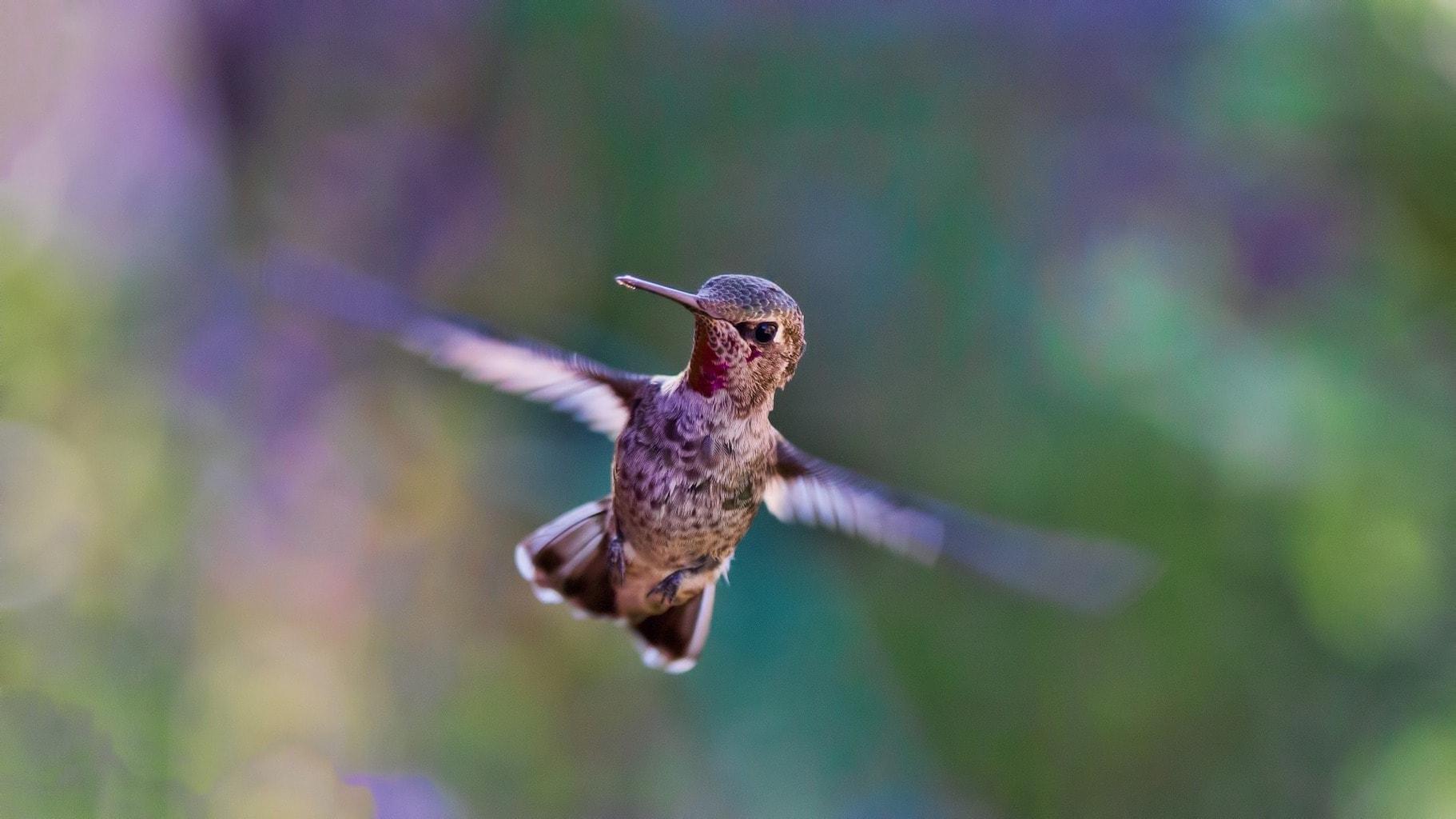 fotografía fauna un colibrí