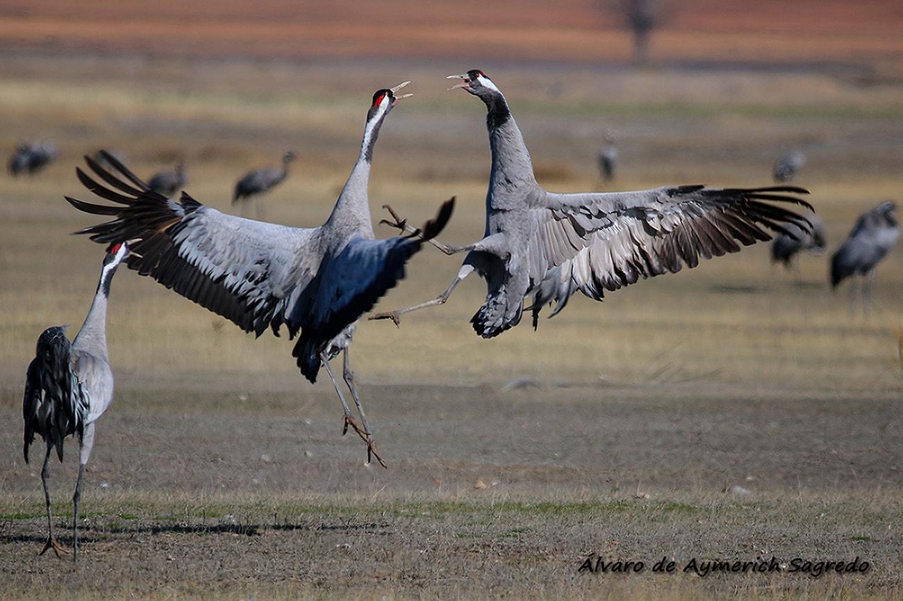 fotografía aves peleándose