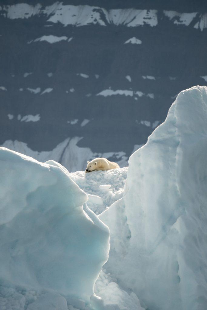 oso paisaje polar