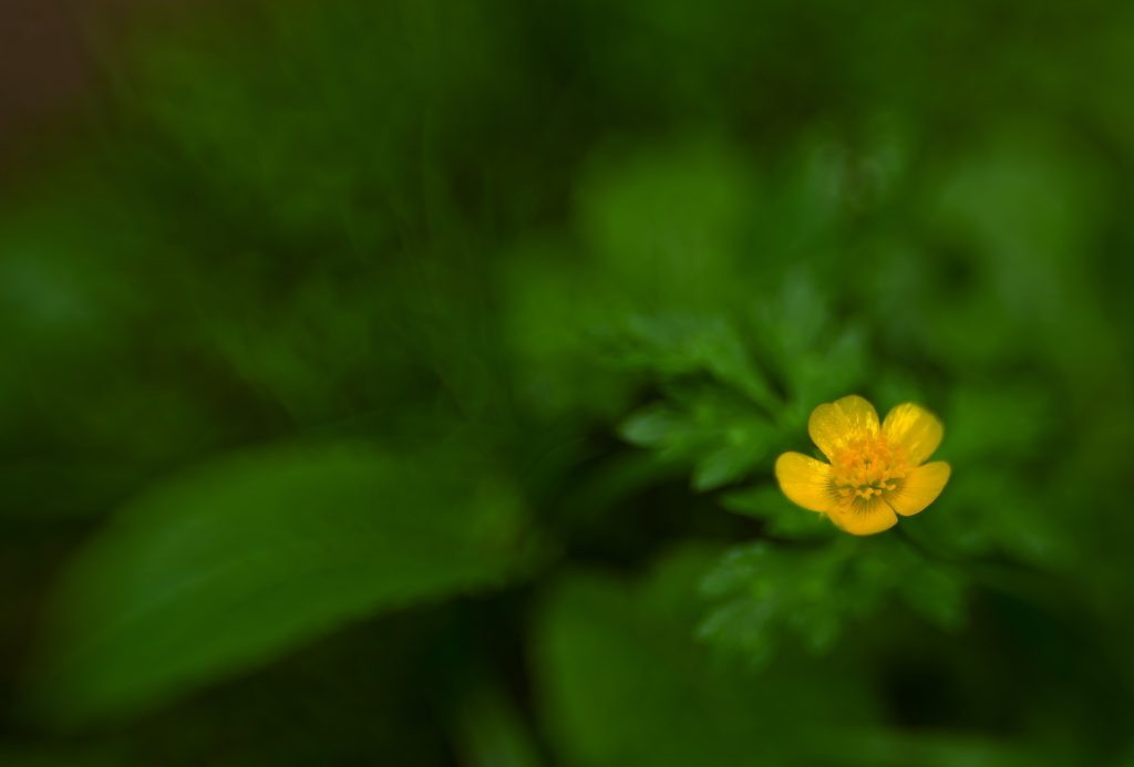 flor amarilla lens baby