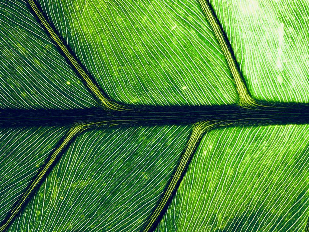 macro hoja verde