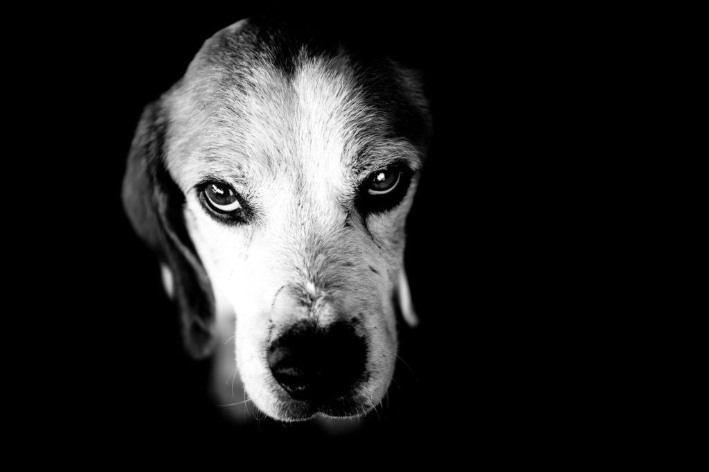 Primer plano de perro en blanco y negro