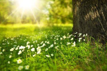 campo flores sol