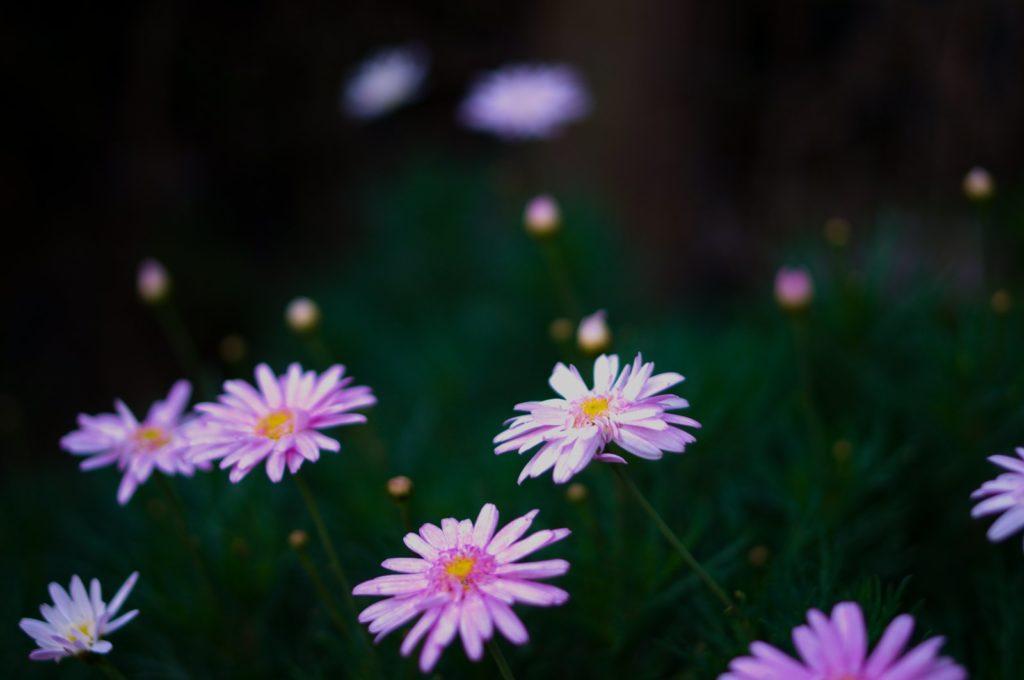 flores objetivo pentax 35mm