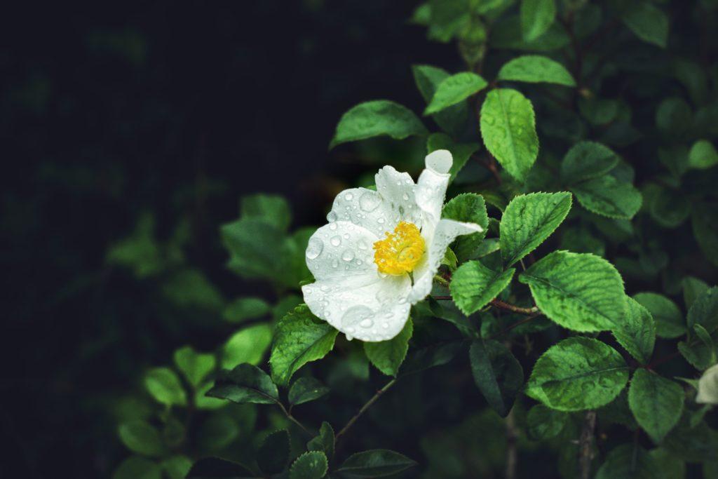 flor rocío objetivo pentax 50mm