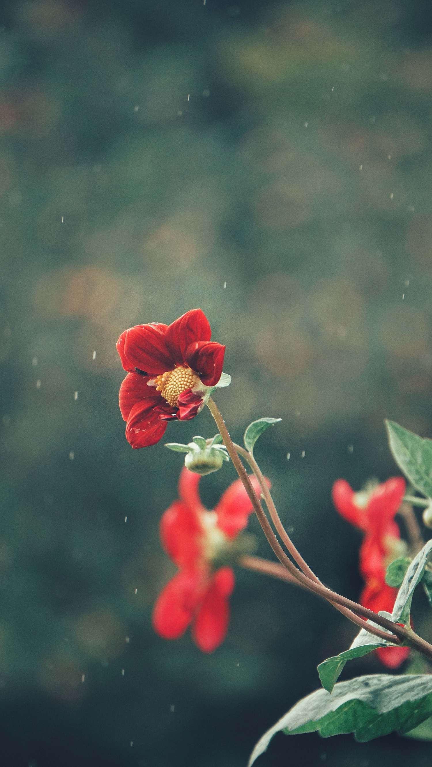 Flor roja fotografiada mientras llueve