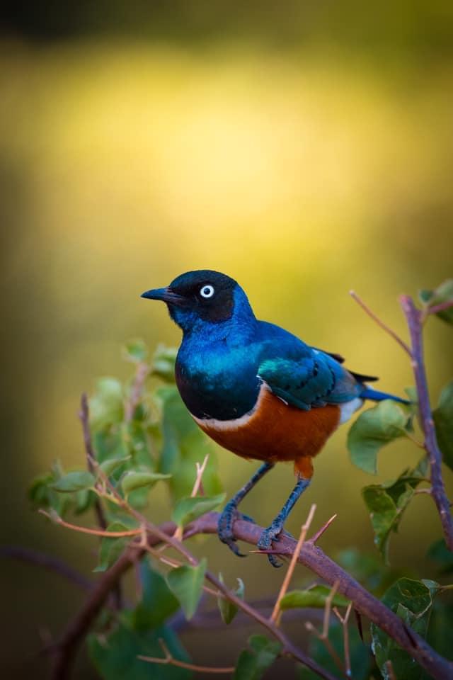 Pájaro azul con bokeh