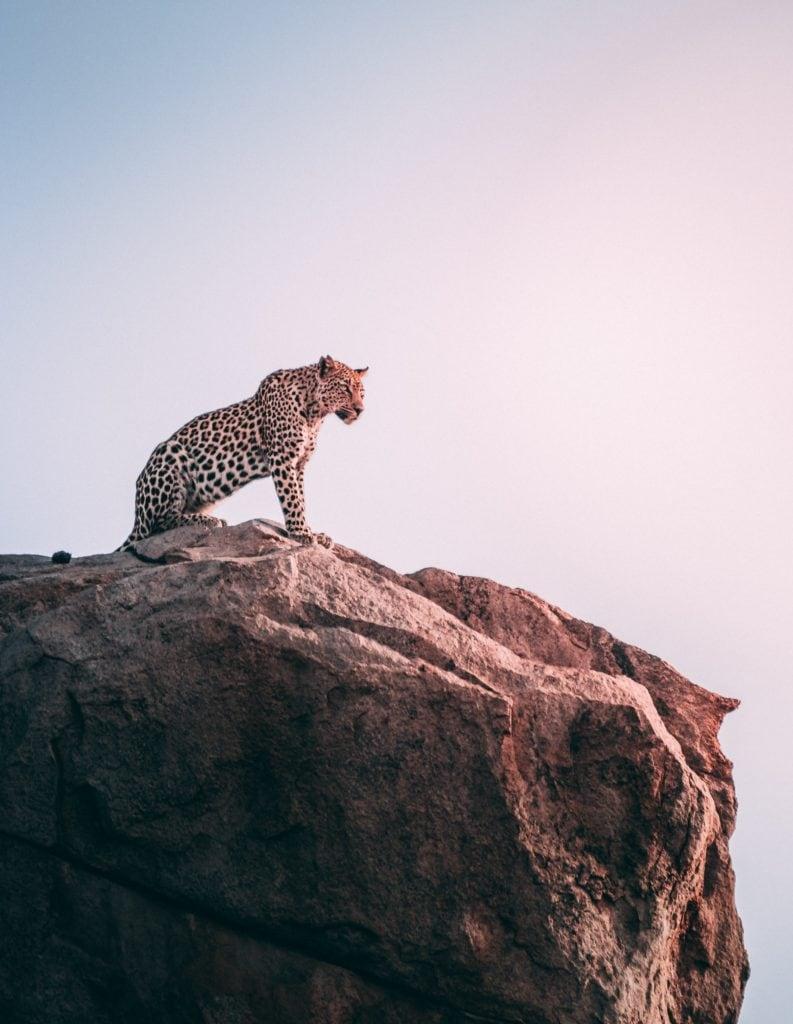 Lince en lo alto de una roca en Sudafrica