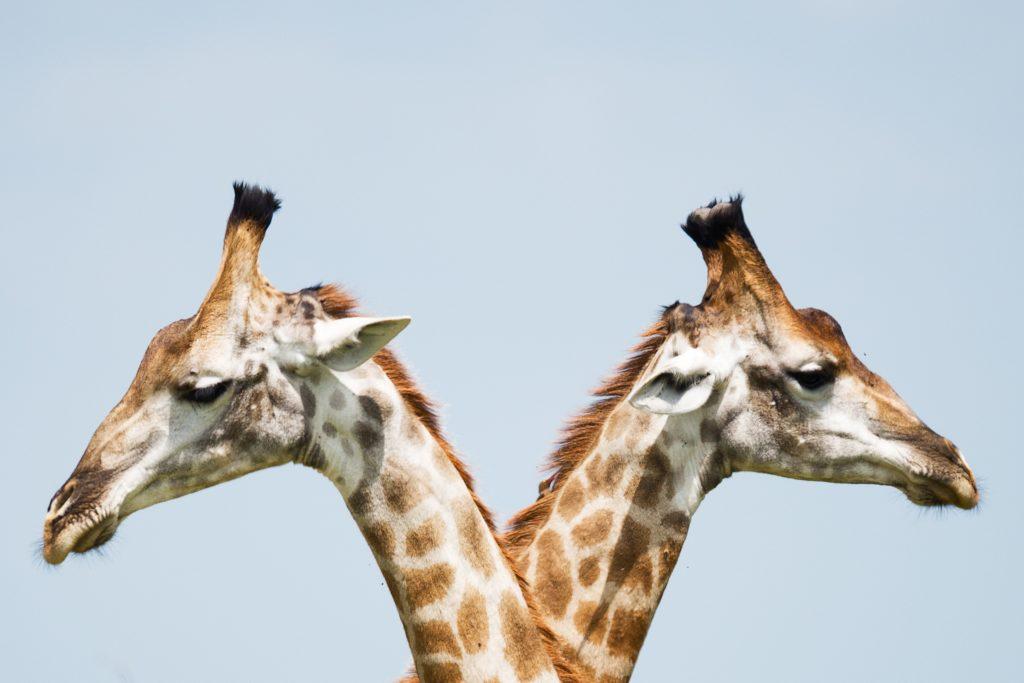 dos jirafas en posición simétrica