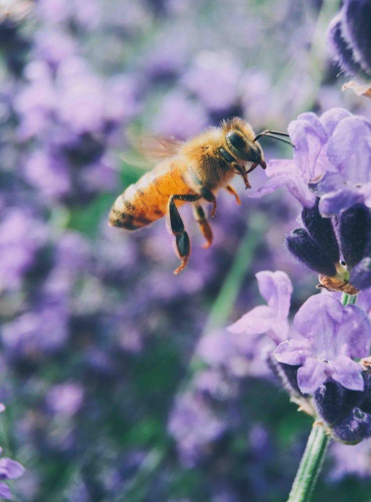 Abeja revoloteando entre plantas lilas
