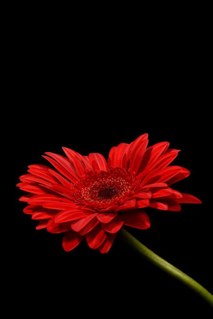 Flor roja con fondo negro