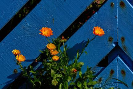 margaritas naranjas sobre fondo azul