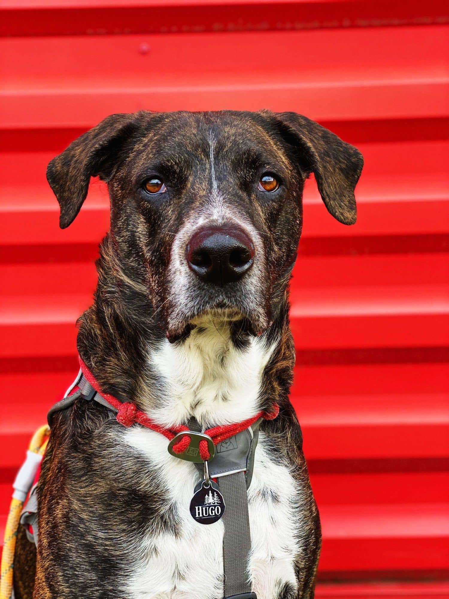 Retrato de perro con fondo rojo