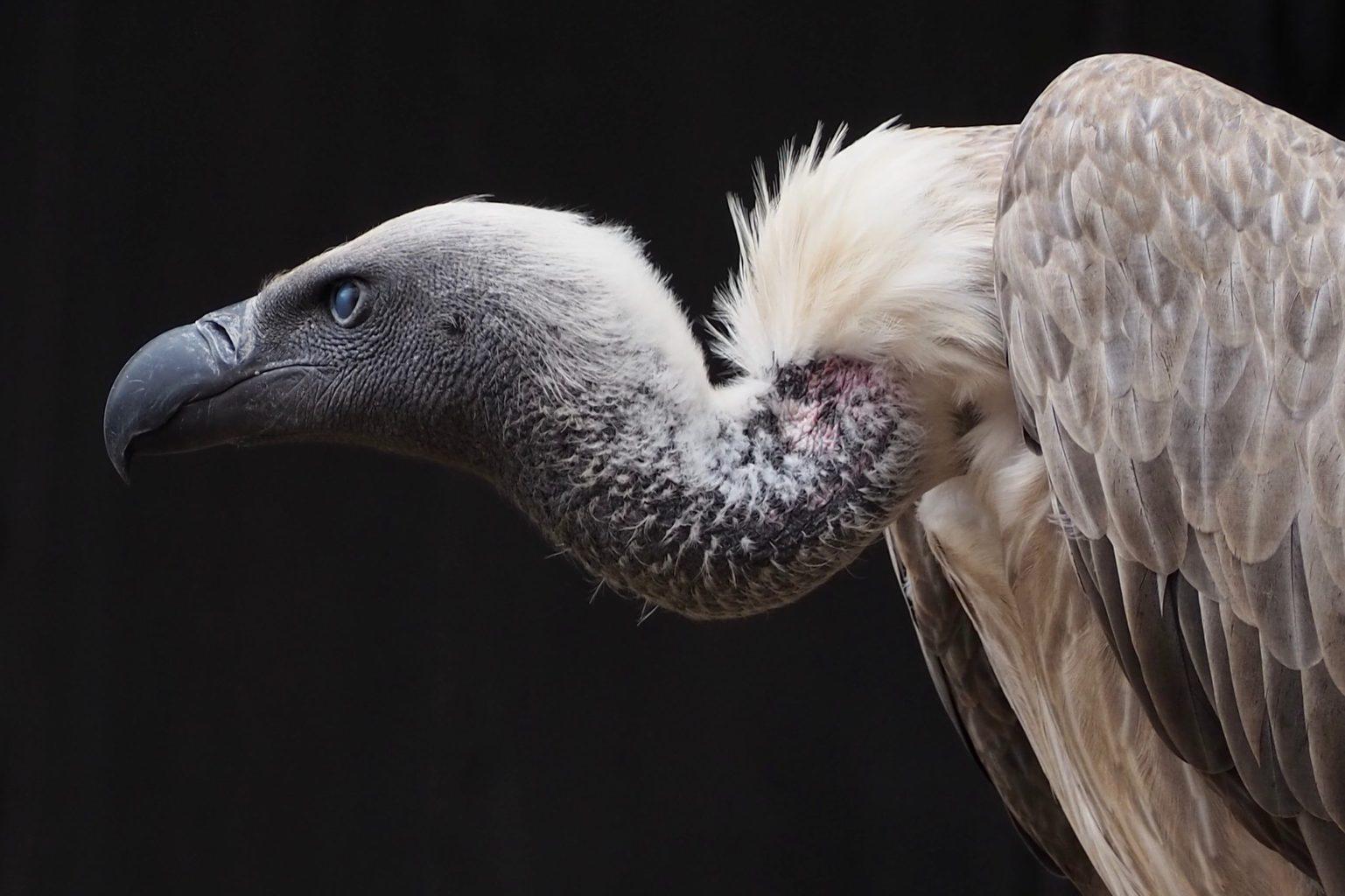 ave africana