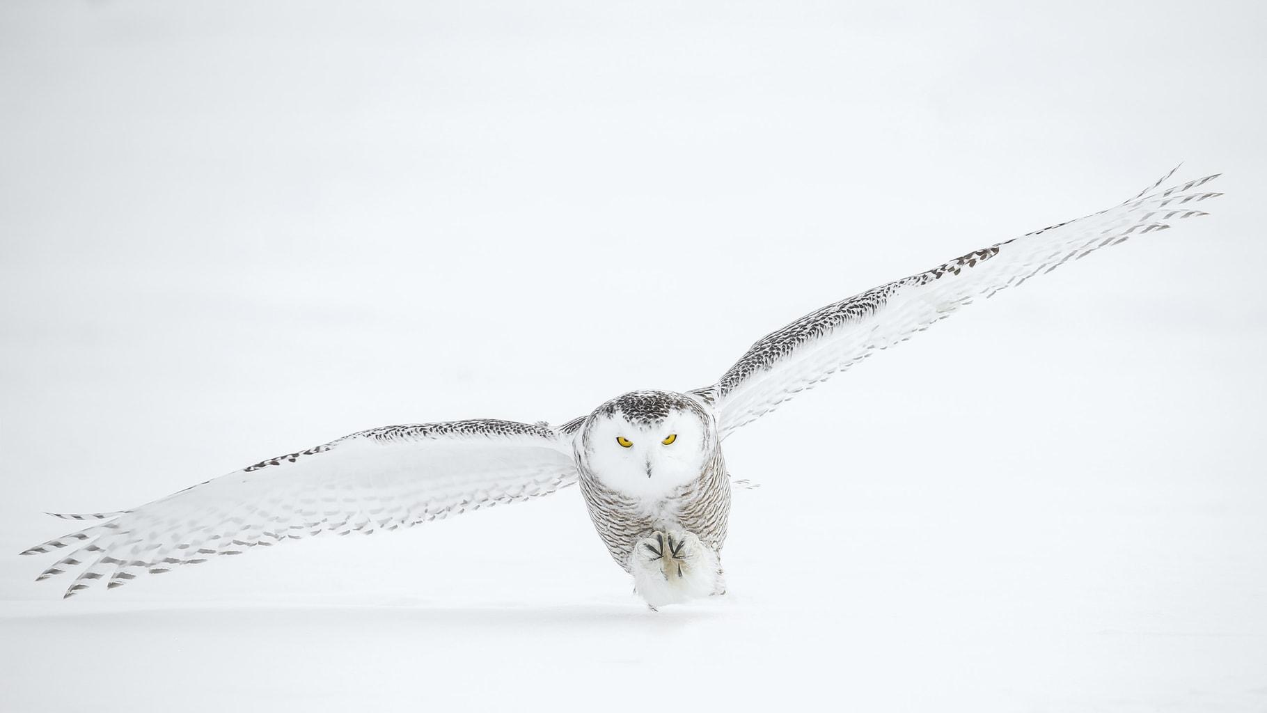 Búho de las nieves volando