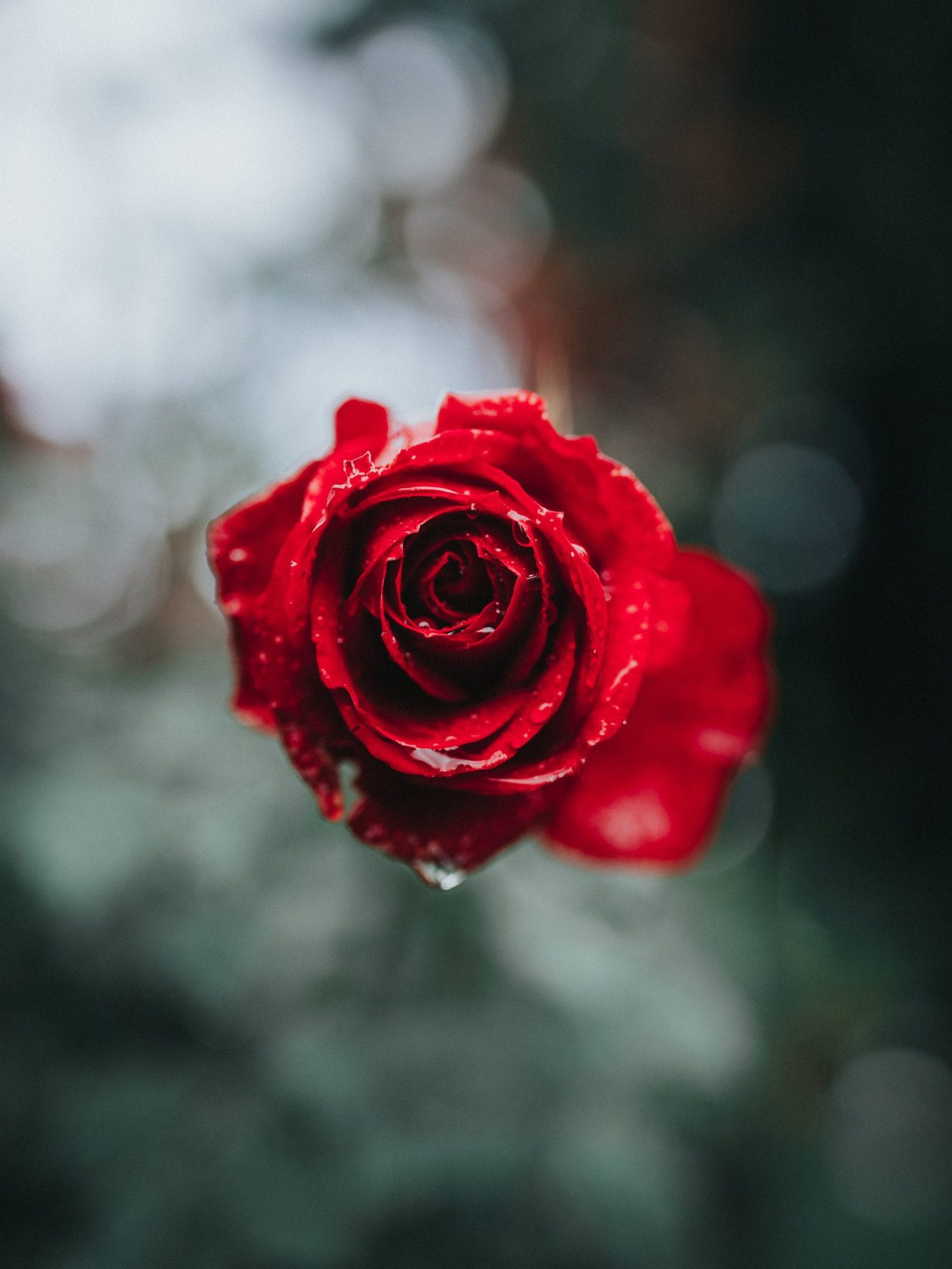 rosa, en entorno natural