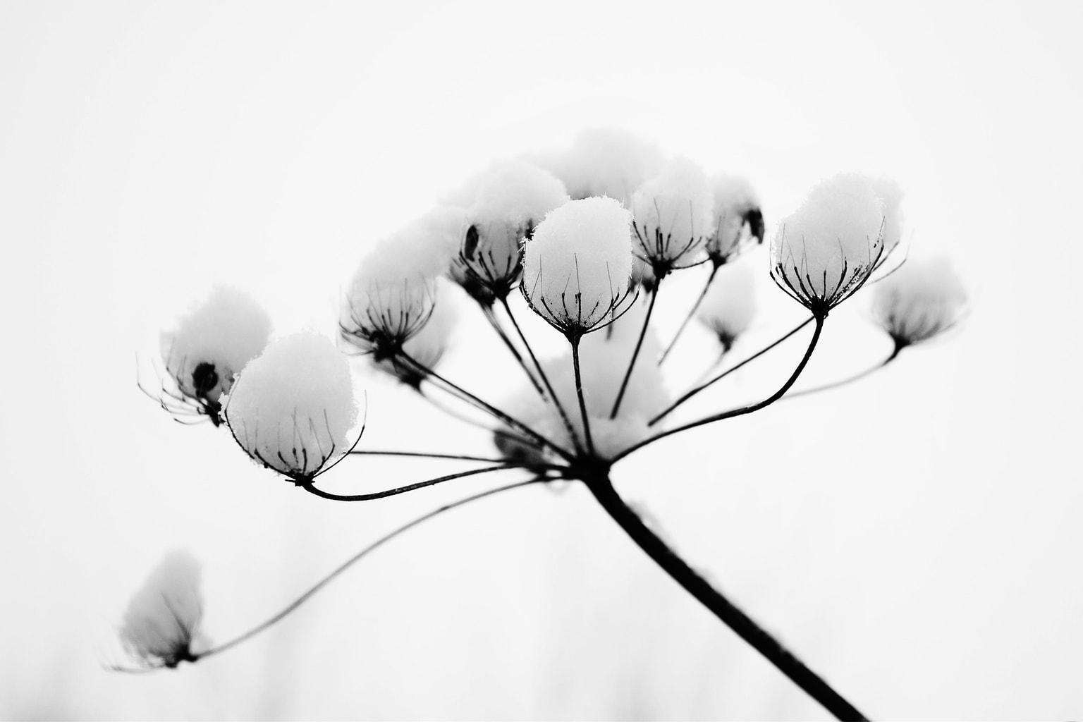 Foto de flor en blanco y negro