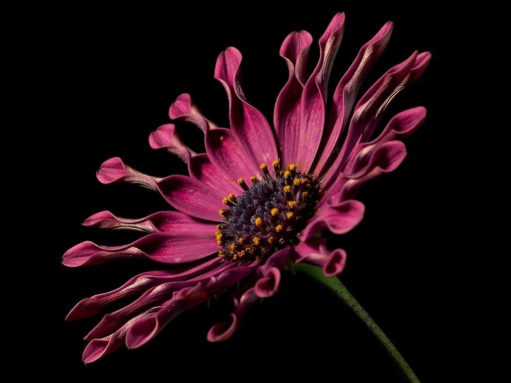 Flor rosa con fondo negro