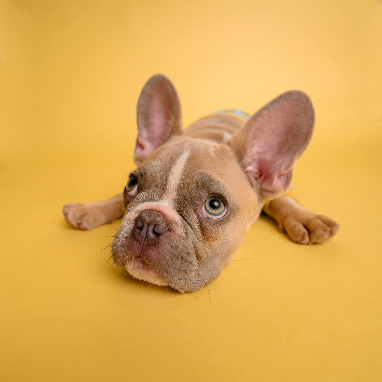 perro fondo amarillo