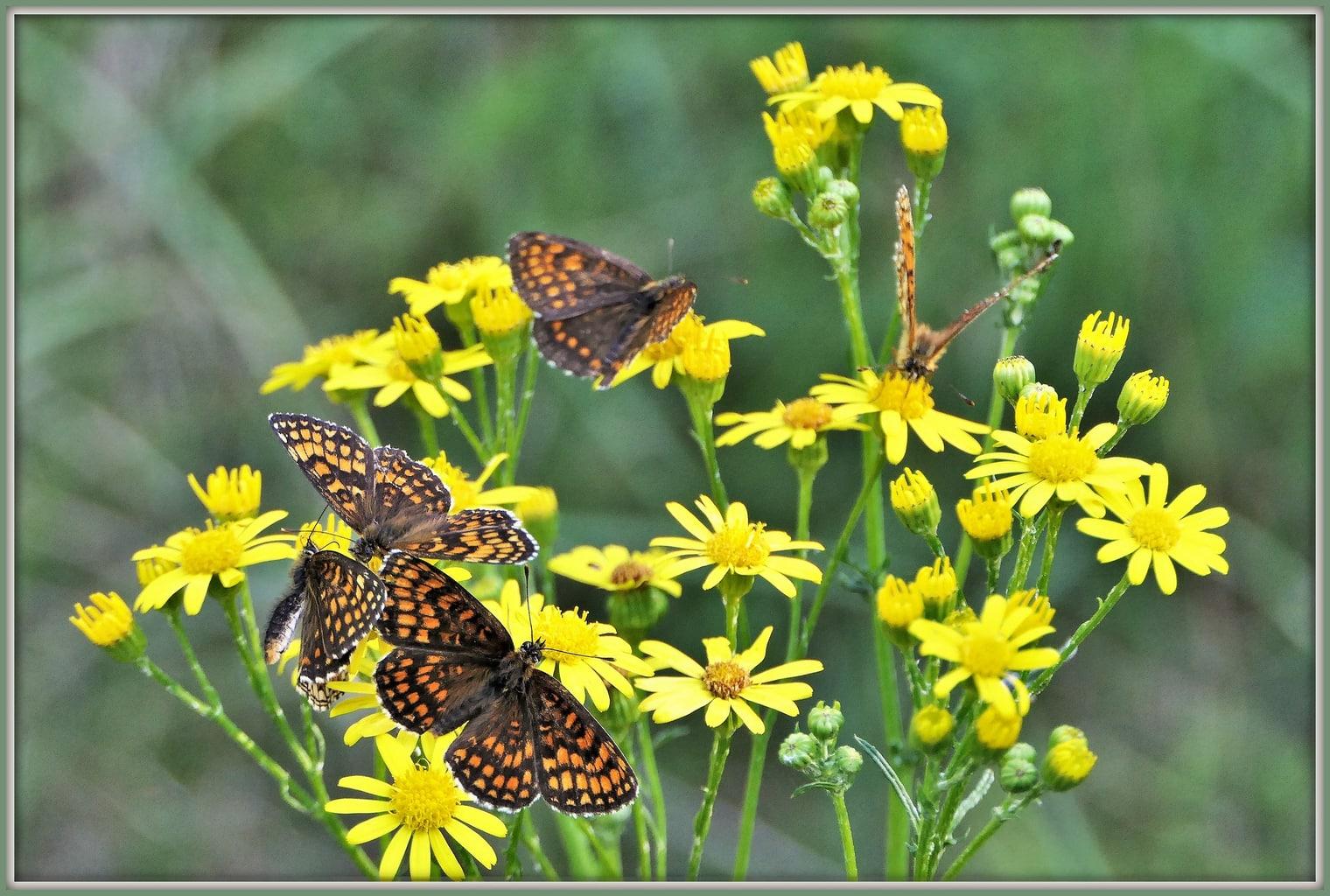 Mariposas en margaritas fotografiadas con una Bridge