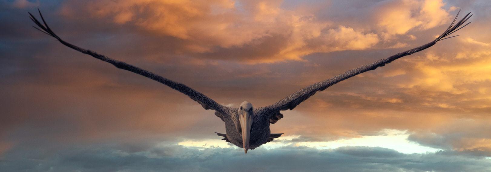 pájaro en vuelo visto desde el frente