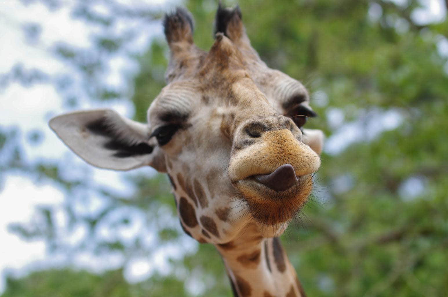 retrato de jirafa con lengua fuera