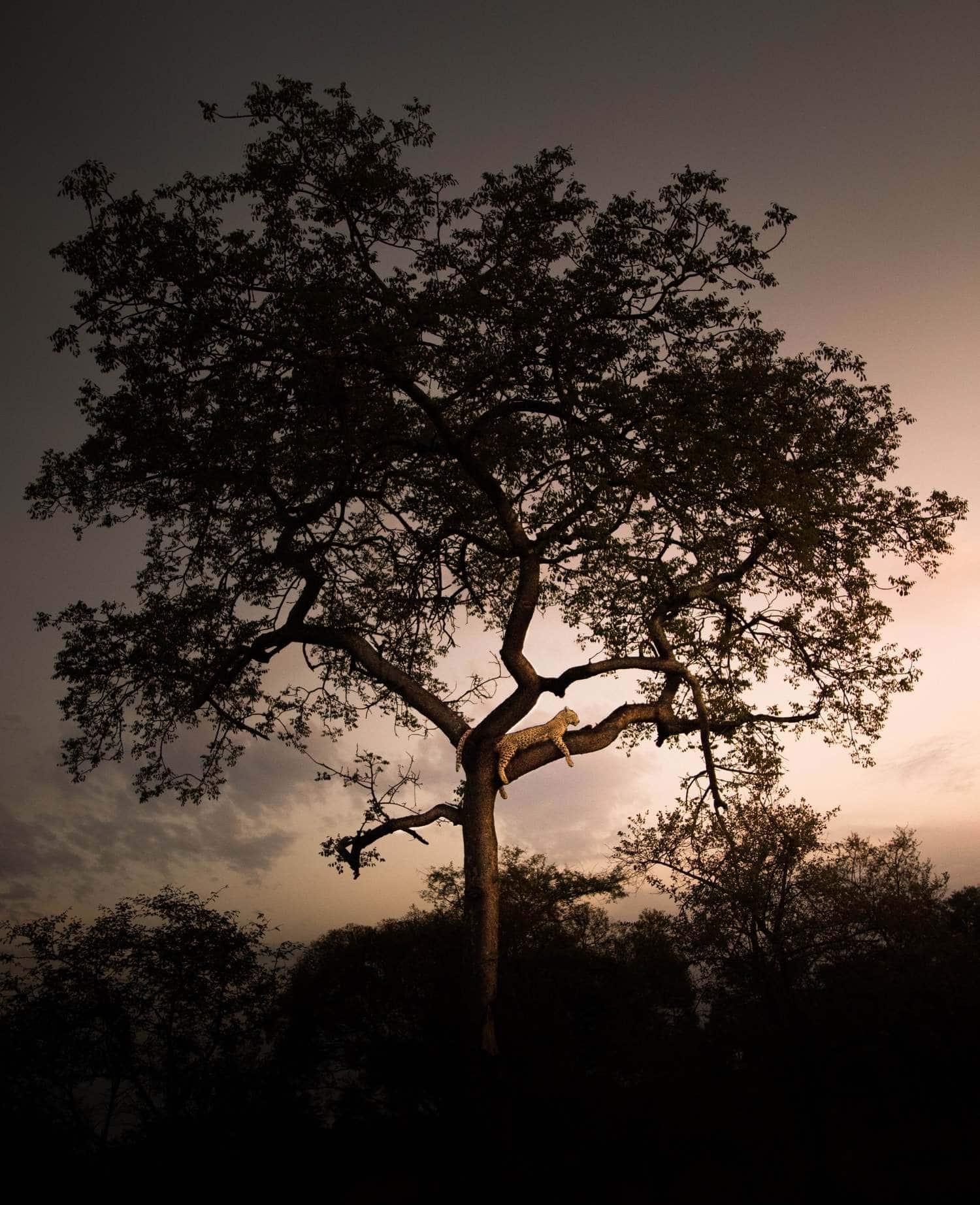 Leopardo descansando en una rama del árbol al atardecer