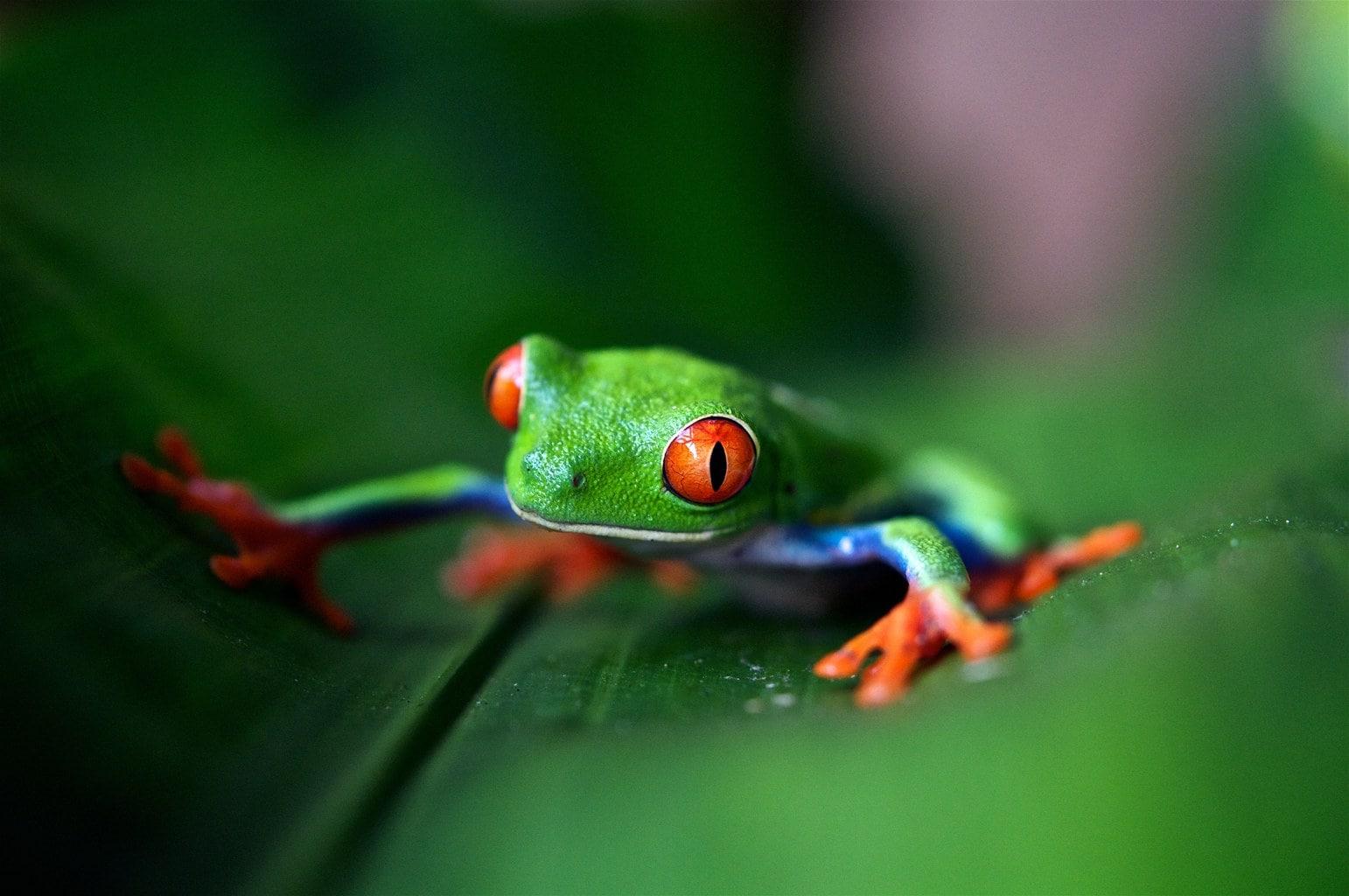 Foto macro de una rana sobre hoja verde