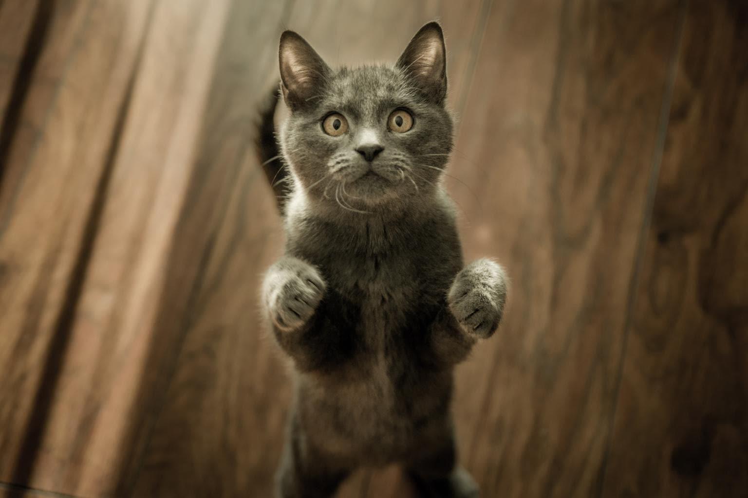 mascota gato de pie