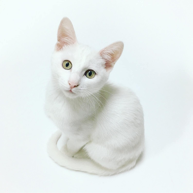 mascota gato blanco