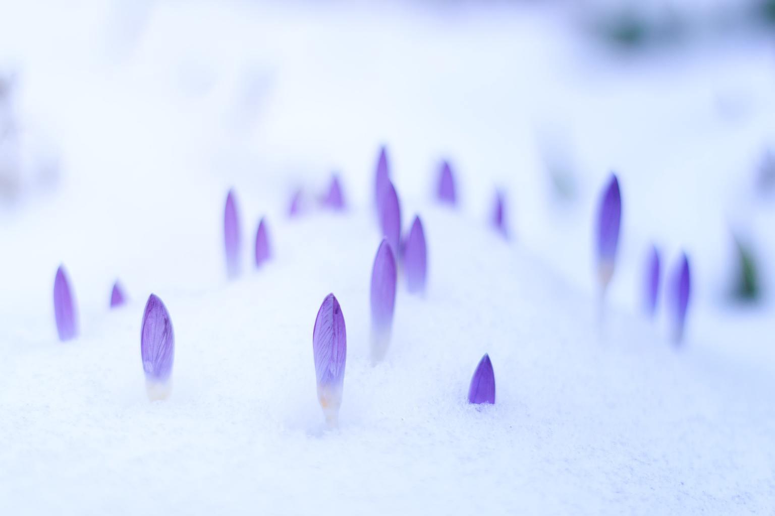 Pétalos de flores asomando a través del hielo en primavera