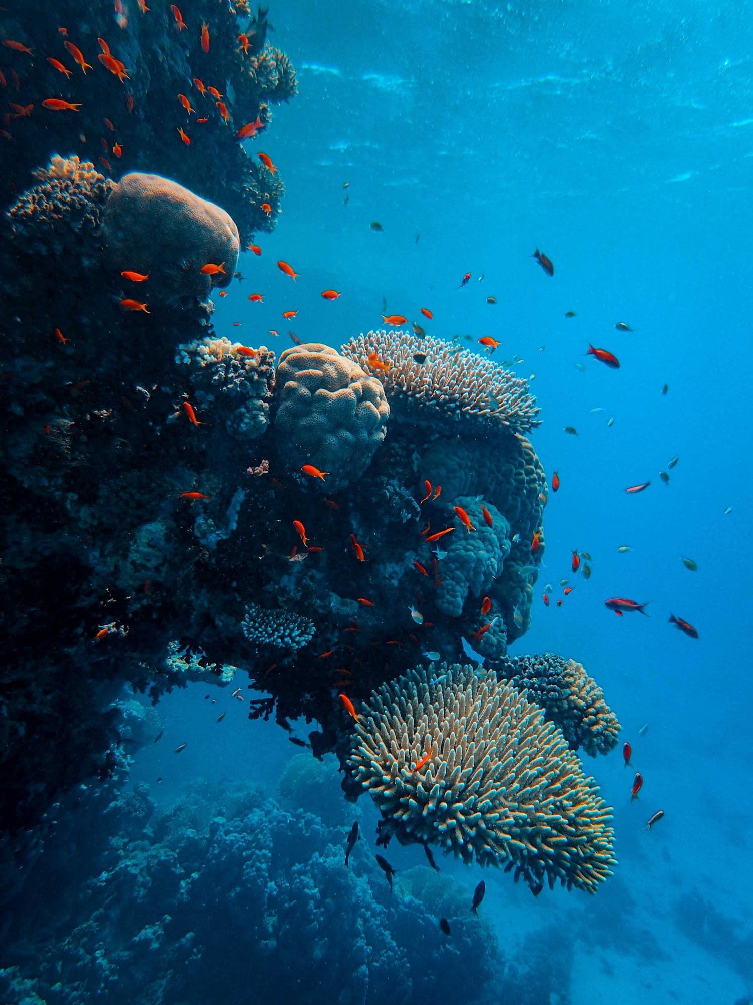 Corales con peces rojos alrededor