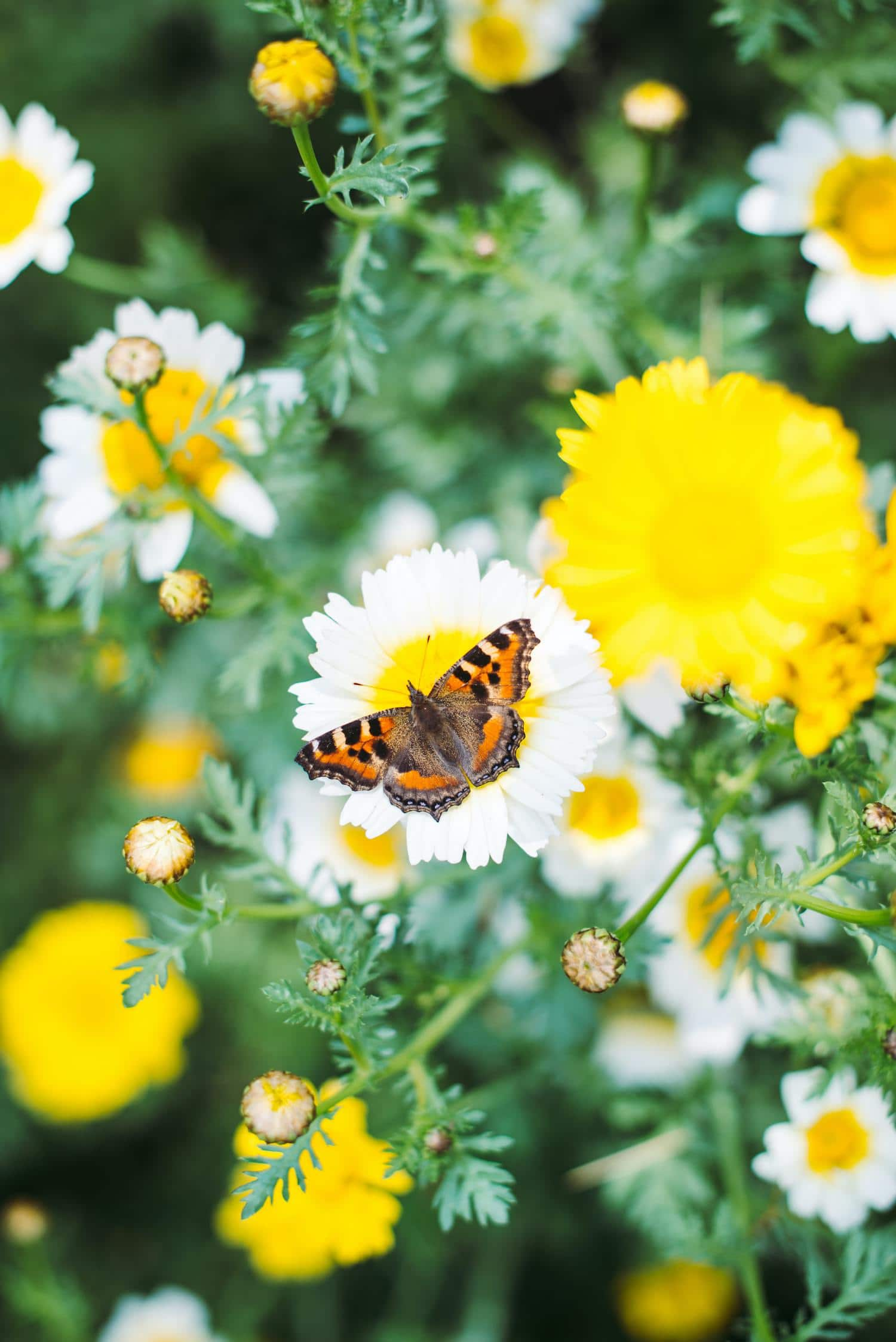 primavera mariposa